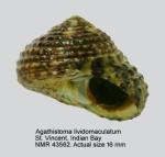 Tegula lividomaculata