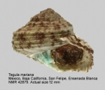 Tegula mariana