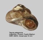 Tegula patagonica