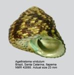 Tegulidae