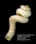 Tenagodus ponderosus