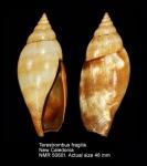 Terestrombus fragilis