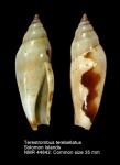 Terestrombus terebellatus