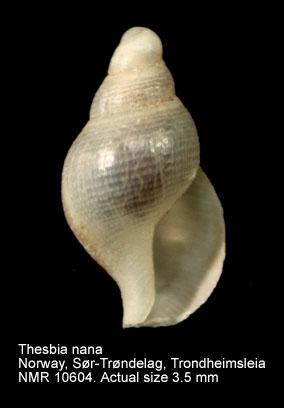 Thesbia nana