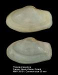 Thraciidae