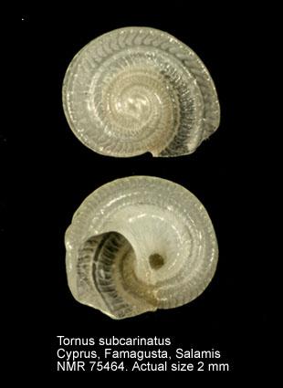 Tornus subcarinatus