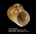 Tricolia landinii