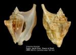 Tricornis tricornis