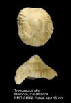 Trimusculidae
