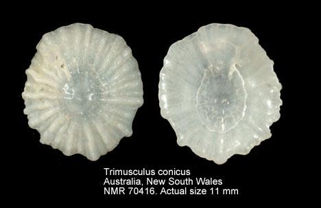 Trimusculus conicus