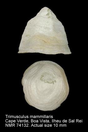 Trimusculus mammillaris