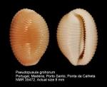 Triviidae