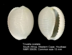 Triviella costata