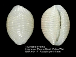 Trivirostra hyalina