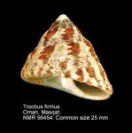 Trochus firmus