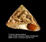 Trochus nigropunctatus