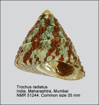 Trochus radiatus