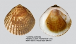 Glycymerididae