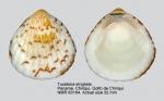 Tucetona strigilata