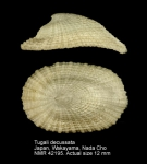 Tugali decussata