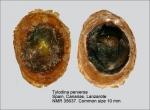 Tylodinidae