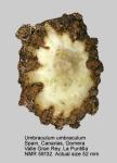 Umbraculidae