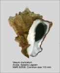 Vasum muricatum