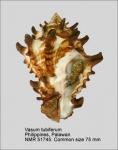 Vasum tubiferum