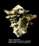 Vasum turbinellus
