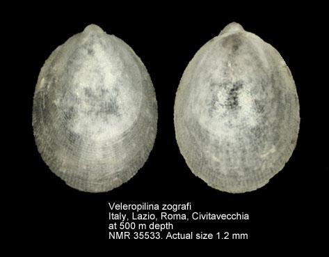 Veleropilina zografi