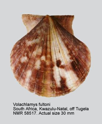 Volachlamys fultoni