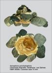 Xenophora (Xenophora) conchyliophora