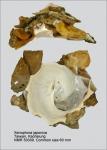 Xenophora (Xenophora) japonica