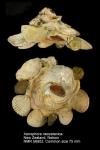 Xenophora (Xenophora) neozelanica