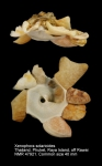 Xenophora (Xenophora) solarioides
