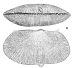 <i>Galeomma coalita</i> Gofas, 1991</b>Ventral view and lateral view of right side of the holotype from Caotinha, Angola (actual length: 10.6 mm). Note attached dwarf male on the ventral margin