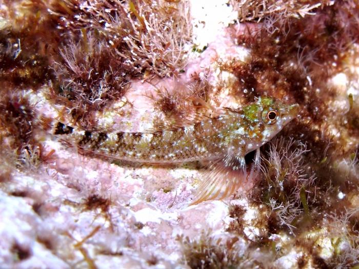 Tripterygion tartessicum