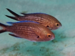 Chromis chromis