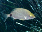 Diplodus annularis