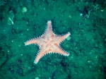 Hippasteria spinosa