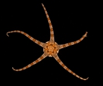 Ophiolepis elegans