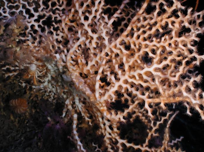Madrepora oculata