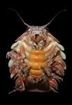 Bathynomus giganteus