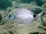 Diplodus sargus