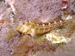 Lipophrys canevae