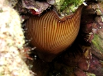 Actinia striata