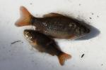 Actoren Vlaamse aquacultuur