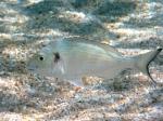 Sparus aurata (juvenile)