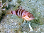 Serranus hepatus