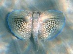 Dactylopterus volitans